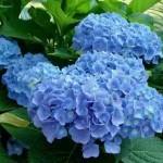гортензия крупнолистная Everbloom Blue Heaven (Вечное цветение голубого неба)