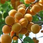 абрикос погремок 1