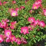 роза пинк дрифт