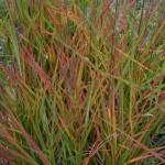 мискантус пурпуроценс