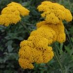 тысячелистник желттоцветковый