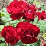 роза фото Хоуп фор Хьюманити1