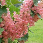 фото смородина мускат розовый