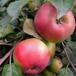 фото яблоня антей