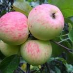 фото яблоня грушовка московская