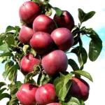 фото яблоня конференция