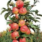 фото яблоня луч