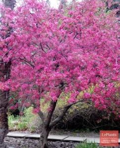 фото яблоня недзаейкого