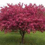 фото яблоня роялти