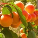 фото абрикос выносливый
